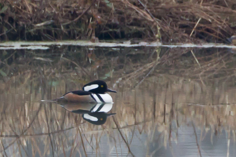 Almost 100% crop, but still the first Hooded Merganser I've ever identified; on a small pond across  Highway 412 from McFall's Sod Farm.