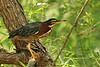 Beautiful little Green Heron, from the kayak, near Burgess Lake, south of Cookeville, Tennessee.