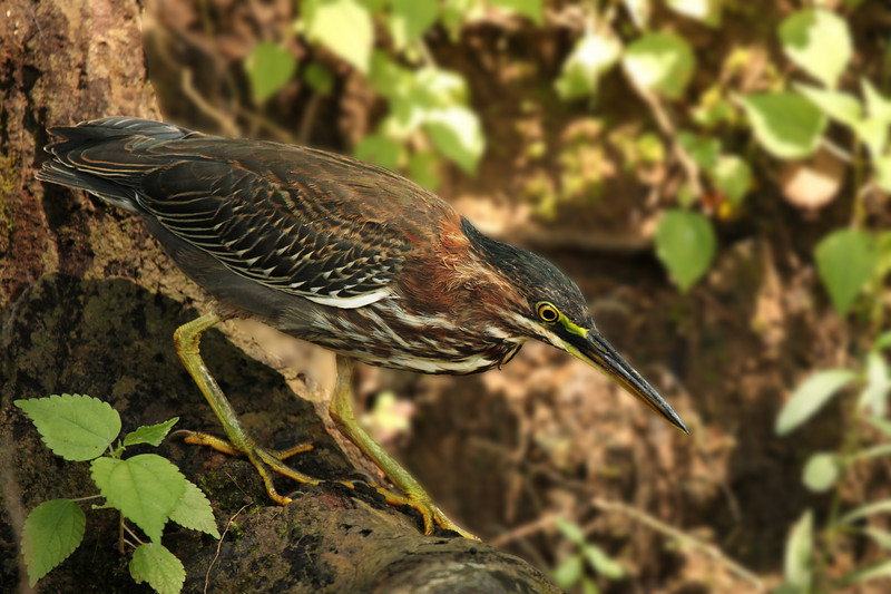 A very tolerant Green Heron (this is almost the full frame) along the Duck River, near Columbia, Tennessee...taken from the kayak, which drifted by about ten feet away while he stalked along the bank.