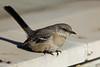 A young Mockingbird...