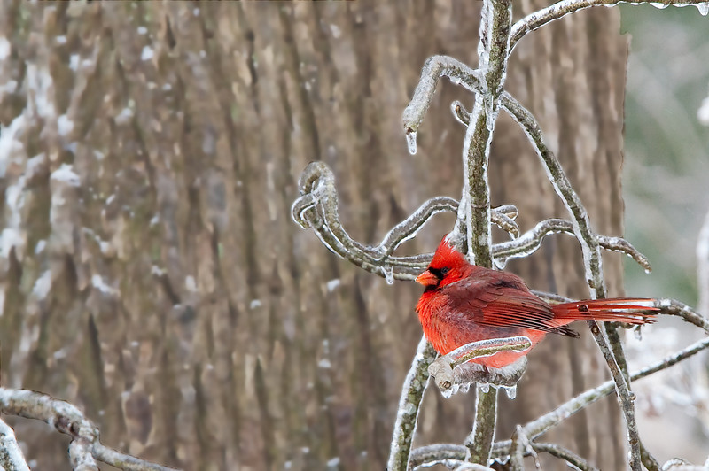 Winter, 2010, a huge ice/snow storm struck middle Tennessee; I spread some birdseed on the crusted snow in the front yard, hid behind a tree with my 300 f/2.8, and waited for the cardinals to swarm...