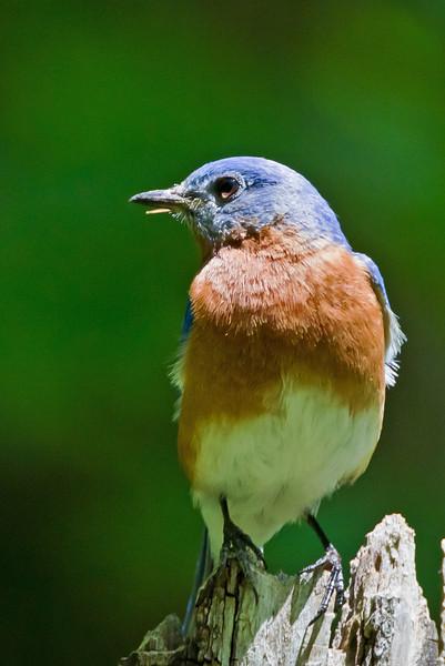 An Eastern Bluebird in bright sunlight in the woods near Radnor Lake, Nashville, Tennessee.