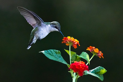 Female Ruby-Throated Hummingbird on the lantana blossoms in my back yard.