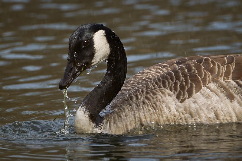 Canada Goose 1