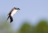 81  Tree Swallow 6 Landing copy