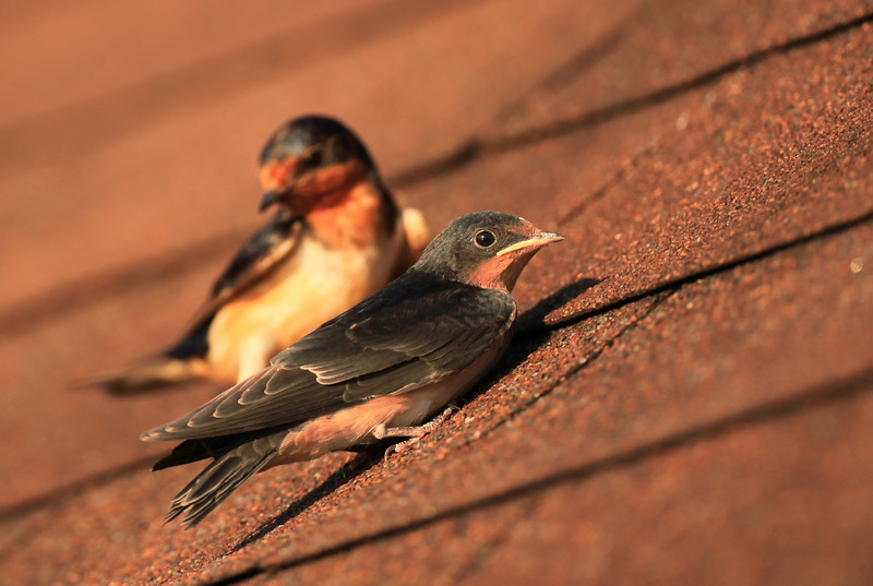 Young Swallow and its solicitous mother...Edgar Evins State Park, Tennessee.