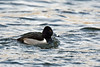 Male Ring Necked Duck, Radnor Lake, near Nashville.