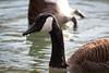 Canada Goose Feb  #2