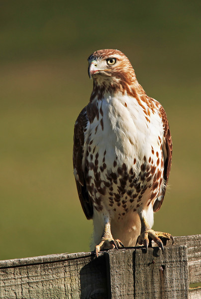 I stopped in someone's driveway when I spotted this hawk perched on a wooden fence.