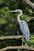 Great Blue Herons are fascinating animals - so large, so available, and so photogenic.<br /> From the 'yak, on the Duck River west of Columbia, Tennessee.