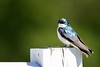 83  Tree Swallow portrait 2 (8) copy