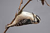 Female Downy Woodpecker, probing the underside of a reed on the shore of Radnor Lake, Nashville, Tennessee.