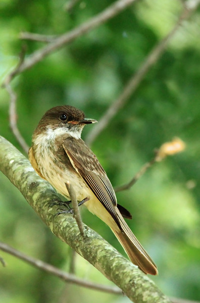 Male Eastern Phoebe, protesting my proximity to his nest full of chicks.