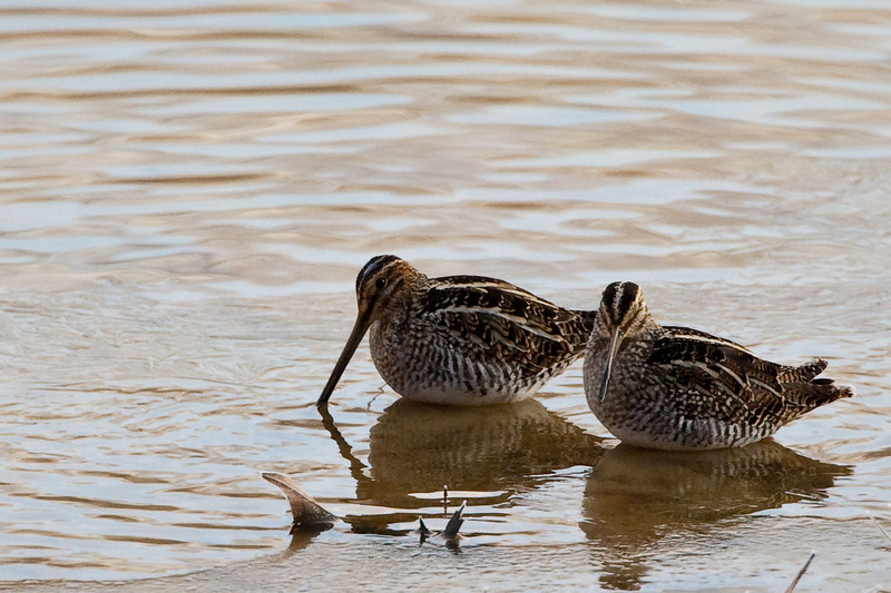 A pair of Wilson's Snipes...