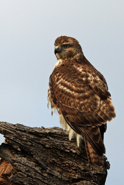 I believe this is yet another of the same type of hawk, this one in Franklin, Tennessee near BGA.