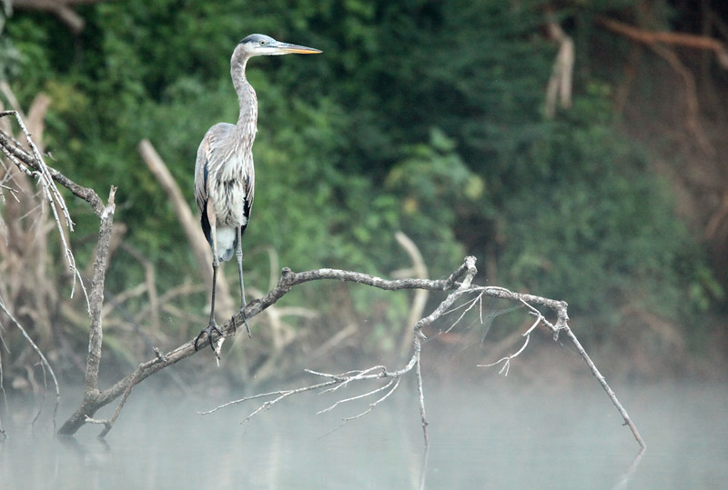 I took the kayak up the Duck River before a summer sunrise, drifting through morning mist past this heron.