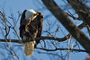 The first Bald Eagle of the year (2012) at the fishing lakes near Williamsport; I coasted the car almost right up under it, but couldn't get out to change the angle and so eliminate the OOF twigs between me and the eagle.