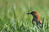 Brown Thrasher, in the yard, of course...