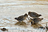 A group of scurrying little snipes, poking the mud in Golden-Eye Lake, Williamsport, Tennessee.