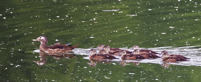 A female wood duck (I think) and her eight ducklings, escaping my approach; on the upper Monsanto Lake outside Columbia, Tennessee.
