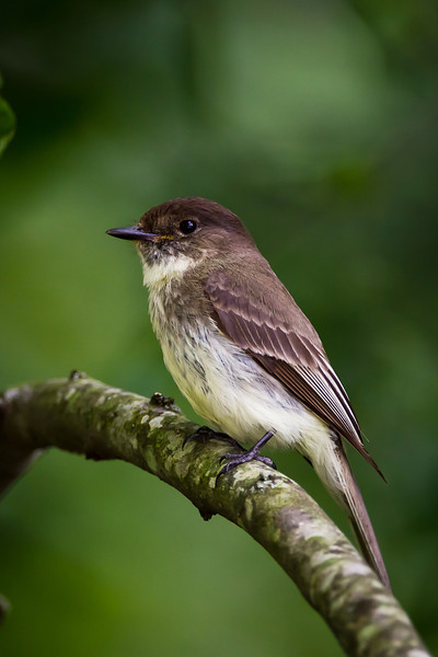 Male Eastern Phoebe; one of a pair that has nested two years in a row on the pool slide underneath the ladder.