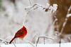 Swarming cardinal 2...