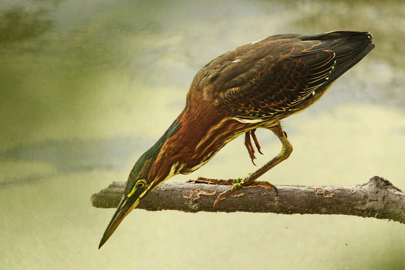 This Green Heron was only a few feet away from me, through the bushes along the Radnor Lake shoreline. Striking mid-stalk pose, dynamic with tension...he missed this time.