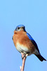 A heavily cropped winter bluebird portrait...