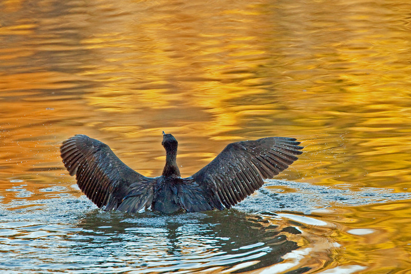 A Cormorant shakes molten gold from its wings...
