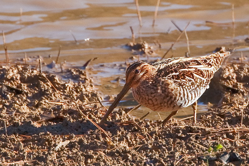 Once known as a common snipe, Wilson's Snipe is now considered a separate species...Golden-Eye Lake, Williamsport, Tennessee, in northern Maury County.