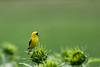 American Goldfinch, on sunflower bud at Biltmore, Asheville , North Carolina.