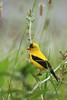 Goldfinch, at a distance, along the roadside in Monterey, Tennessee, on the Cumberland Plateau.