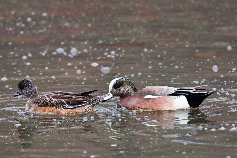 American Wigeon, female and male, of a group of six or eight; Radnor Lake, Nashville.