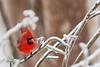 Ice-encrusted limbs as a cardinal perch; whatever works...