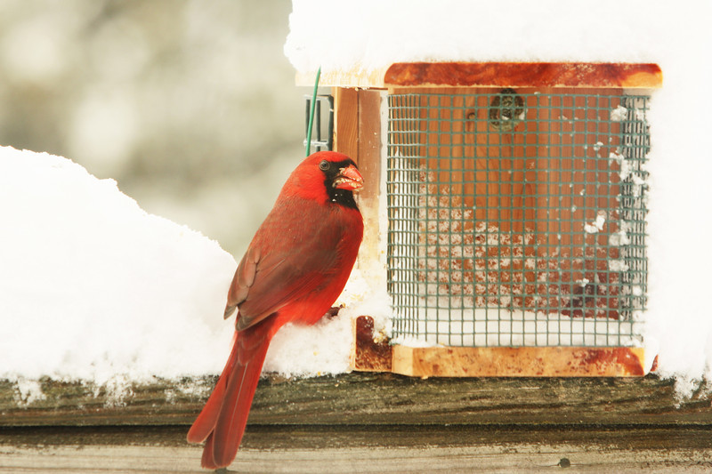 This Cardinal is giving me the dirtiest look; for not cleaning the snow from the bird feeder?