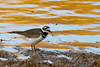 Killdeer on the muddy shore of Goldeneye Lake, one of the Williamsport fishing lakes in North Maury County.
