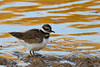 Killdeer 5 ruffled