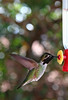 Unidentified hummingbird, from Sedona, Arizona, February, 2010