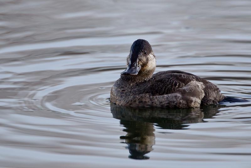 Male (non-breeding) Ruddy Duck 3