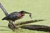 Green Heron w-Fish 1a