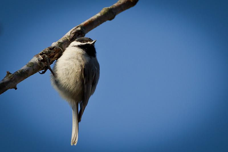Hanging Chickadee