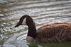 Canada Goose Feb  #1