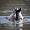 Ducks in Love 1