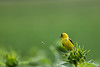 American Goldfinch distracted by a passing bee; on sunflower bud at Biltmore Mansion, Asheville, North Carolina.