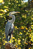 This heron tired of flying up the river ahead of me and my kayak, and imperiously stared me down from a high snag as I passed beneath...