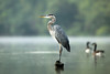 A Great Blue Heron watches me and my kayak drift slowly toward its perch, near the boat landing at Iron Bridge Road on the Duck River near Columbia, Tennessee.