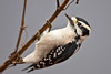 Downy Woodpecker on a reed at Radnor Lake; this little woodpecker is tolerant to the point of being downright friendly. As I stood still, she checked all the reeds and underbrush in a ten foot arc around me as I pivoted and snapped the shutter...