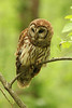 Barred owl, from near Radnor Lake, Nashville, Tennessee