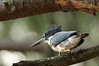While lurking under the pine trees next to Golden-Eye Lake near Williamsport, Tennessee,I watched two Banded Kingfishers chase one another through the trees. One landed, briefly, almost directly above me; a poor angle for a photograph, but the closest I've ever been to this skittish bird.