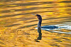 Cormorant at Williamsport Lakes, northwest Maury County. Autumn color tints the water with gold.